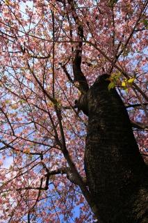 河津桜の原木(下から見上げる)