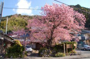 河津桜の原木(道路脇から)