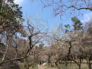 北野天満宮の梅苑に咲く梅