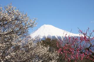小田原曽我梅林に咲く紅白の梅と富士山