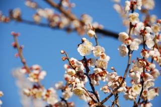 可憐な白梅の開花