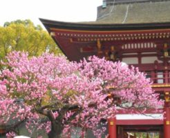 太宰府天満宮境内に咲く紅梅
