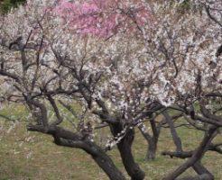 岐阜梅林公園に咲く梅の花