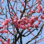 羽根木公園梅まつり2017!開花状況や見頃は?餅つきと梅大福がお勧め!