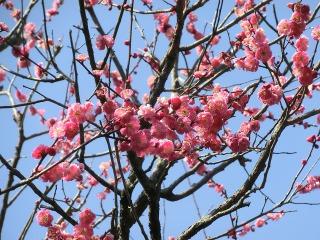 羽根木公園の梅が開花