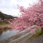 みなみの桜と菜の花まつり2018!開花状況や見頃?アクセスは?