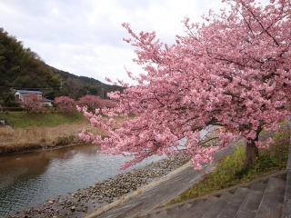 青野川の土手に咲く河津桜