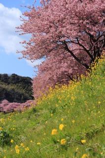 見頃となった河津桜と菜の花