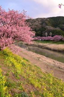 青野川沿いの河津桜と菜の花