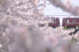 三浦海岸の河津桜と京浜電車
