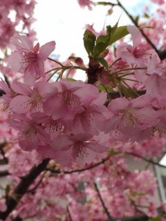満開を迎えた河津桜