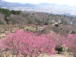 筑波山梅林に咲く梅の花