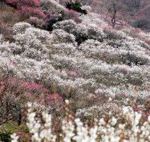 湯河原梅林に咲き広がる梅の花