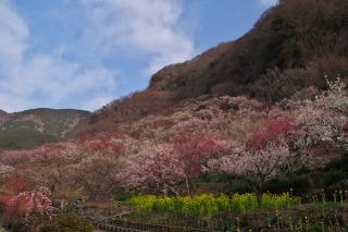 湯河原梅林の斜面に咲く4000本の梅