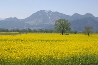 一面真黄色に染まった飯山の菜の花畑