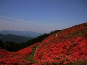 葛城山麓に咲くつつじ