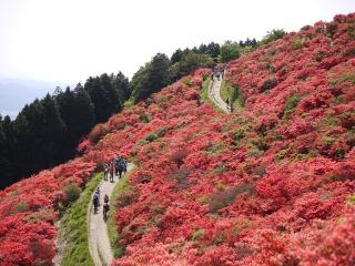 葛城山の斜面に咲くつつじ
