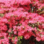 根津神社つつじ祭り2018!見頃・開花状況、アクセスは?