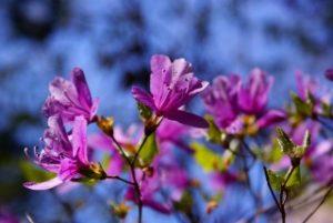 根津神社の赤紫色のつつじ