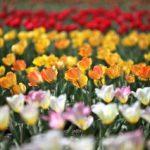 直方のチューリップ祭り2017!開花情報、場所やアクセスは?