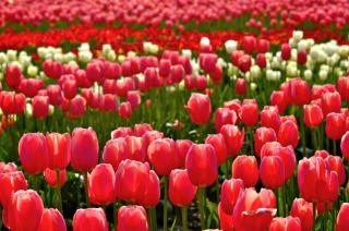 砺波チューリップ公園の真っ赤なチューリップ