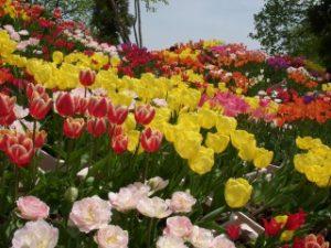 砺波チューリップ公園の赤や黄色のチューリップ