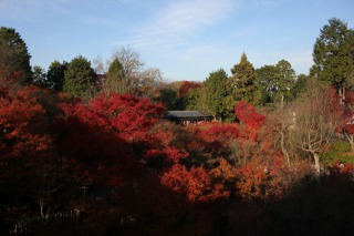 ミツバカエデの紅葉は、黄金色で美しすぎる